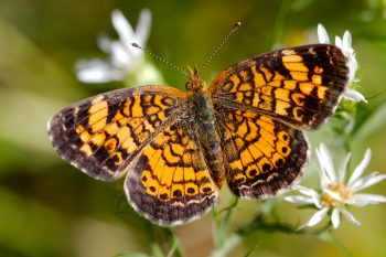 Phyciodes tharos (Pearl Crescent)