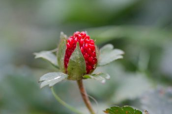 Fragaria virginiana (Wild Strawberry)