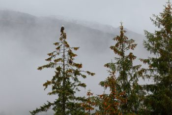 Bald Eagles in Lemon Creek