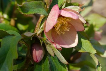 Lenten Rose 'Mango Magic'