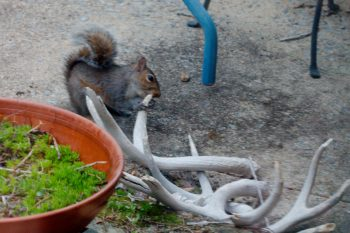 Squirrel Chewing on Antlers