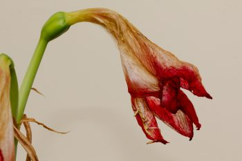 Dried Amaryllis Flower