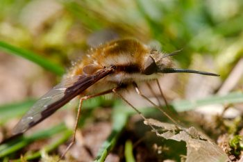 Bombylius major (Greater Bee Fly)