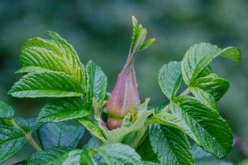 Rugosa Bud and Leaves