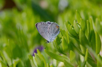 Eastern Tailed-Blue (Cupido comyntas)