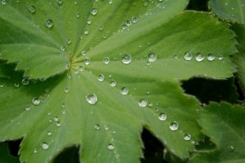 Water Droplets on Alchemilla mollis 'Auslese'