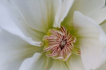 White Flowering Clematis