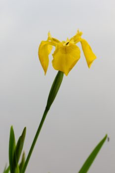 <em>Iris pseudacorus</em>, (Yellow Flag)
