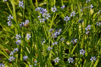 Sisyrinchium angustifolium (Blue-eyed Grass)