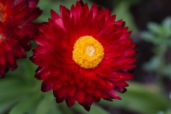 Red Strawflower (Xerochrysum bracteatum)