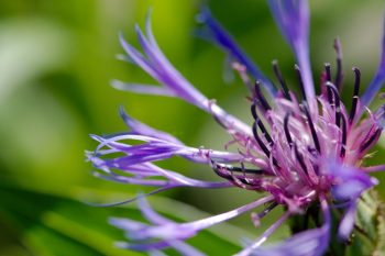 Mountain Bluet (Centaurea montana)