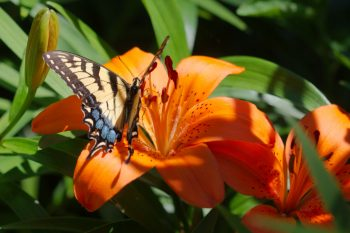 Tiger Swallowtail (Papilio glaucus) on Asiatic Lily