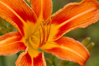 Orange Day Lily (Hemerocallis fulva)