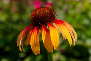 'Fiery Meadow Mama' Coneflower