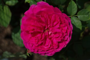 Rose 'Munstead Wood'