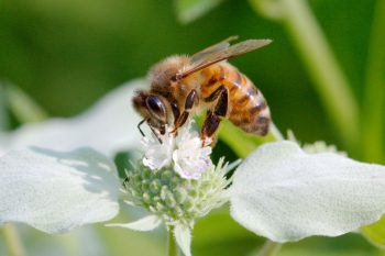 Western Honey Bee (<em>Apis mellifera</em>)