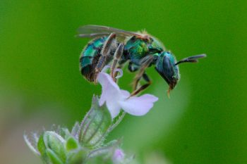 Green-Sweat Bee