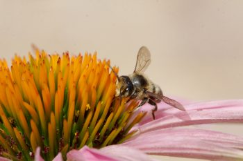 Resin Bee on Coneflower