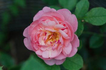 Rose 'Boscobel'