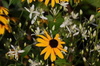 Autumn Clematis and Black-eyed Susan