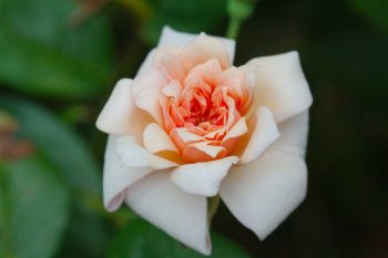 Rose 'Perle d'Or'