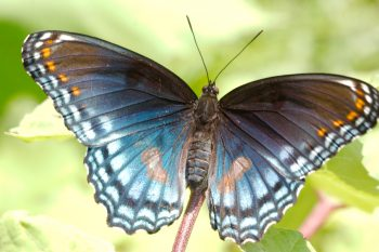 Limenitis arthemis astyanax (Red-spotted Purple)