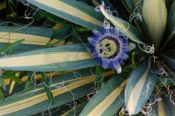 Blue Passion Flower and Variegated Yucca