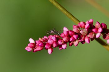 Pennsylvania smartweed (Persicaria pensylvanica) and Asian Tiger Mosquito (Aedes albopictus)