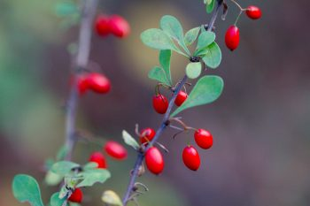 <em>Berberis thunbergii</em> (Japanese barberry)