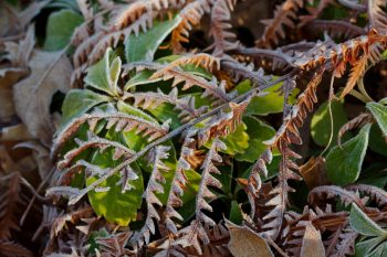 Frost on Fern Fronds