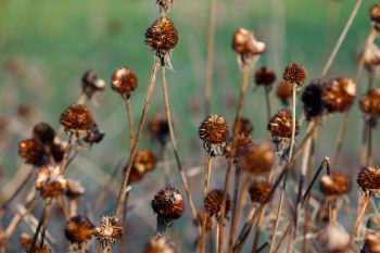 Black-eyed Susan Seeds
