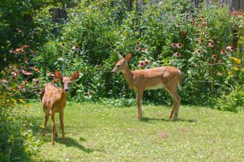 Growing Fawns